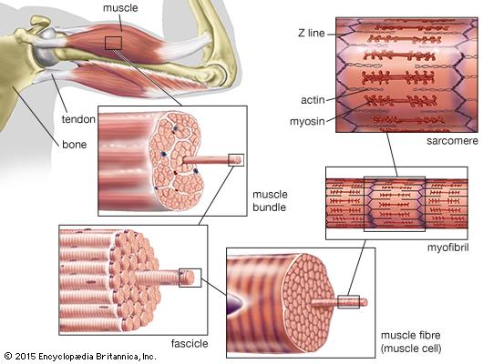 Štruktúra svalov - komplexný program zmeny postavy s osobným trénerom pohyb.sk